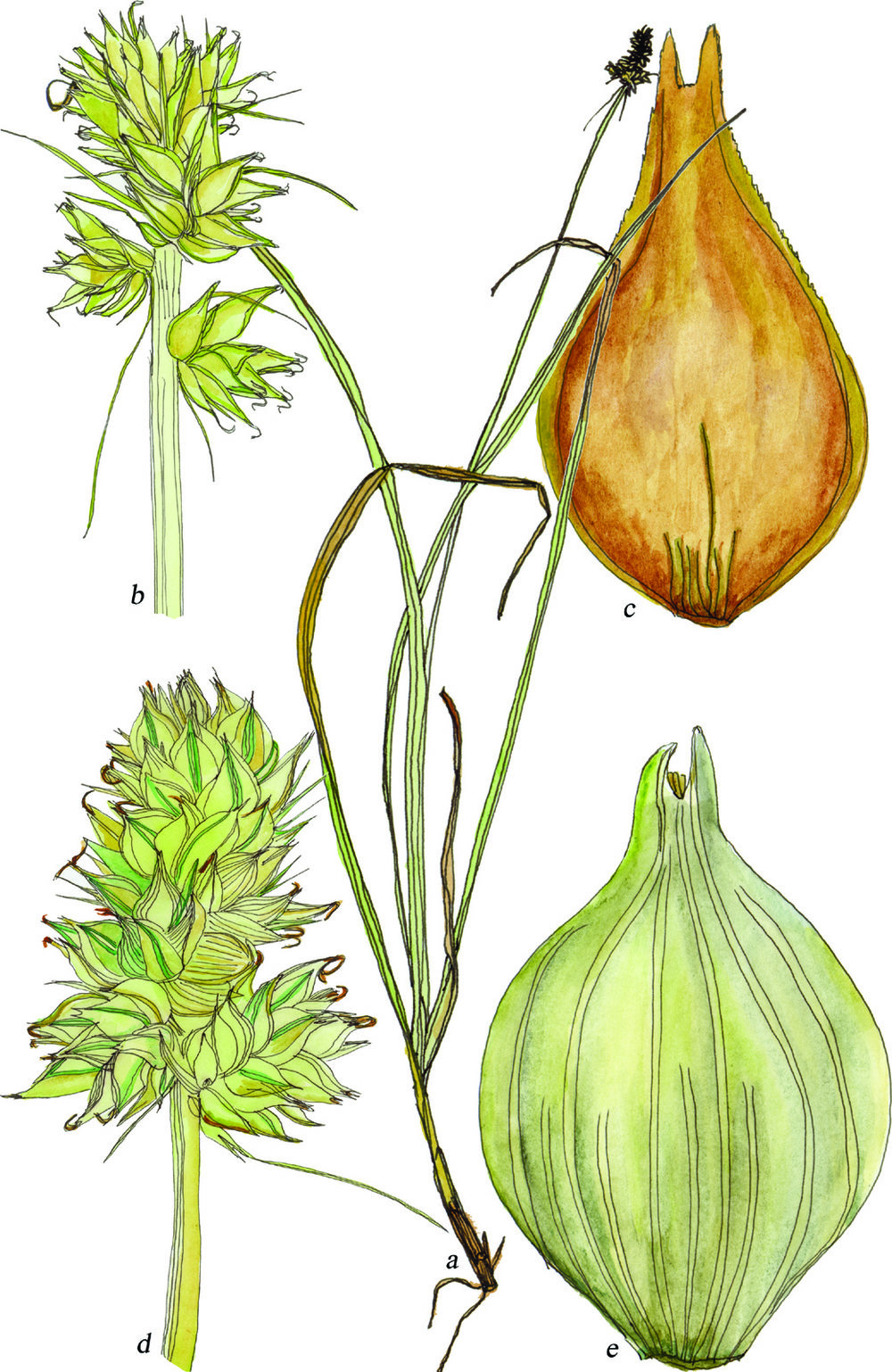 Fig45_Carex_cephalophora.jpg