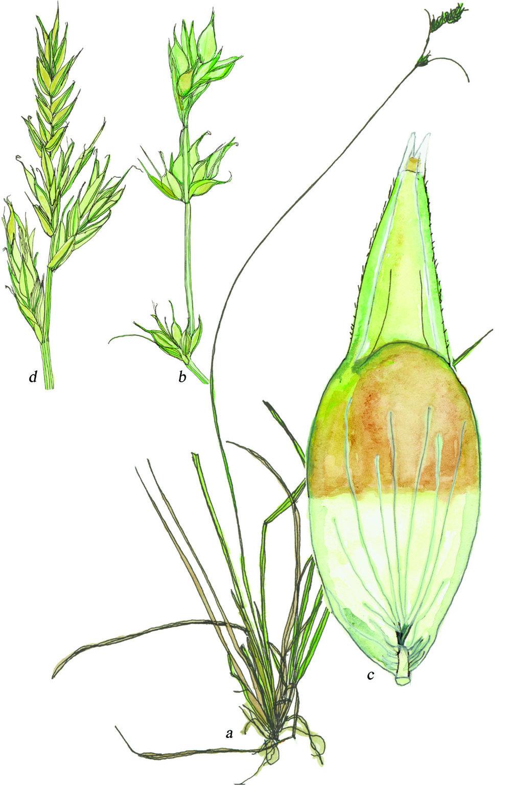 Fig50_Carex_deweyana.jpg