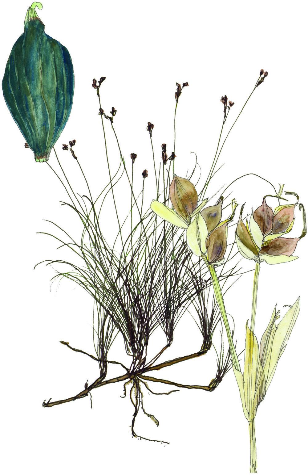 Fig10_Carex_eburnea.jpg