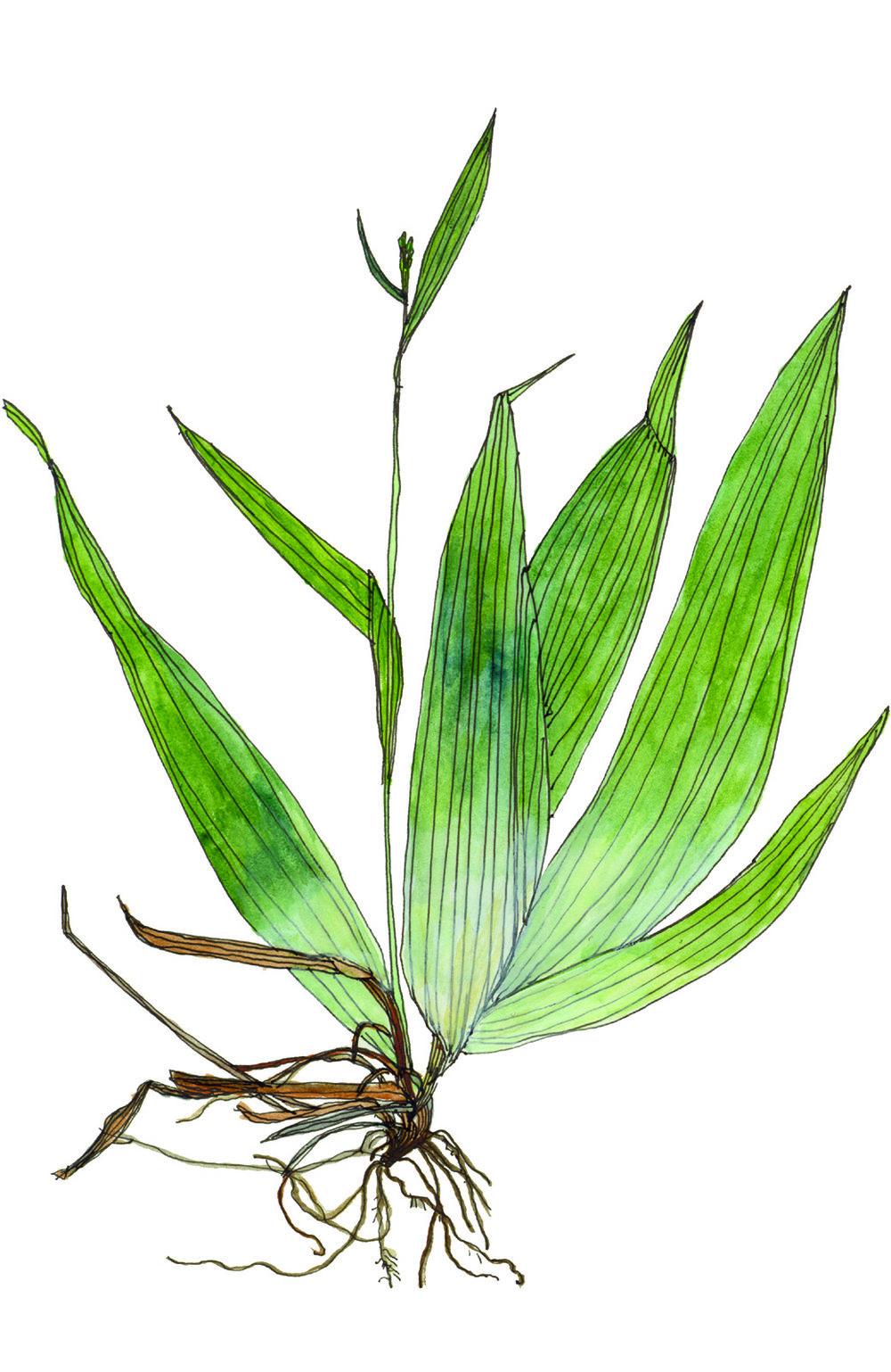 Fig16_Carex_albursina.jpg
