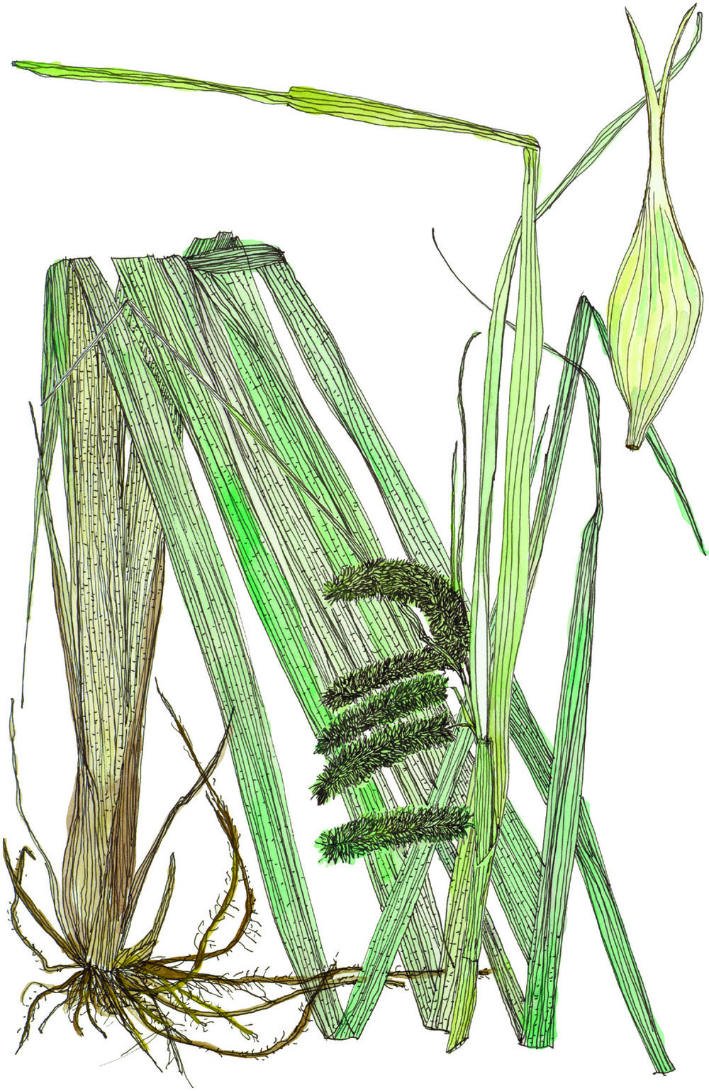 Fig26_Carex_comosa.jpg