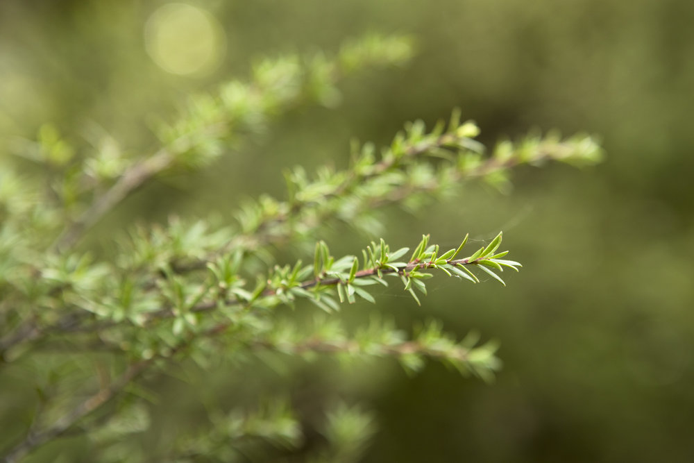 Rosemary - Courtesy of  Young Living Essential Oils