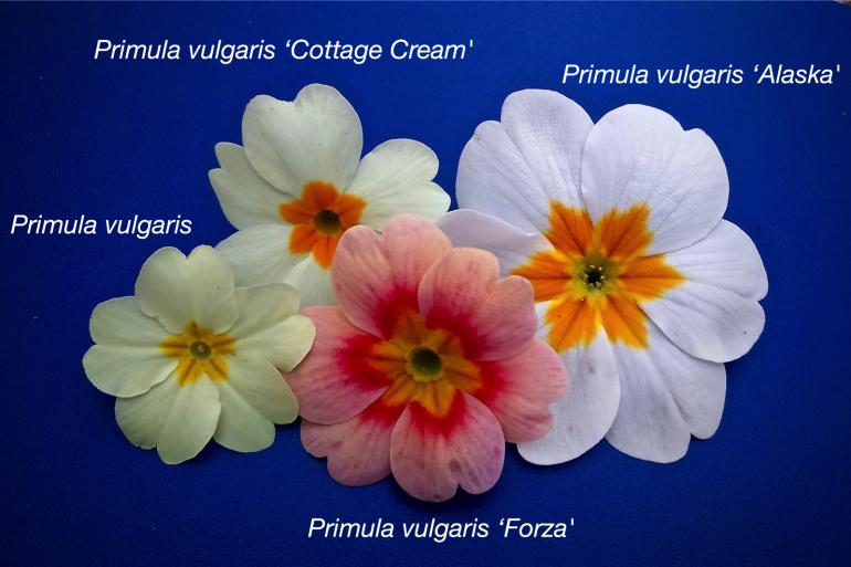 primula-flowers.jpg