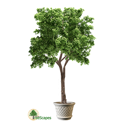 Elm Tree - International Treescapes