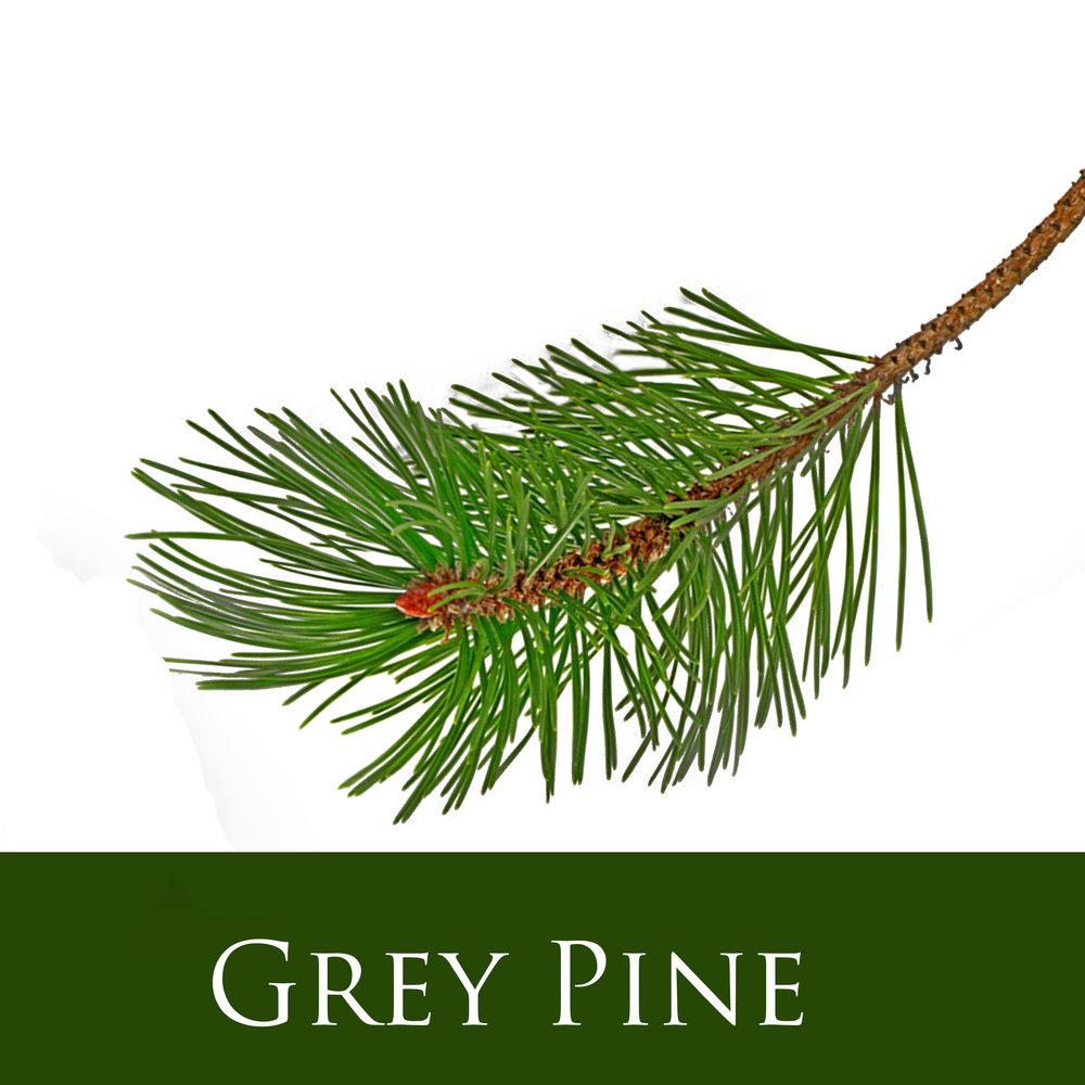Grey Pine.jpg