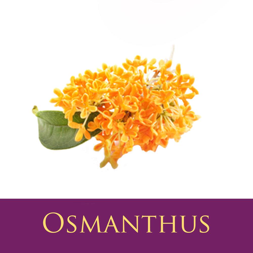 Osmanthus.jpg