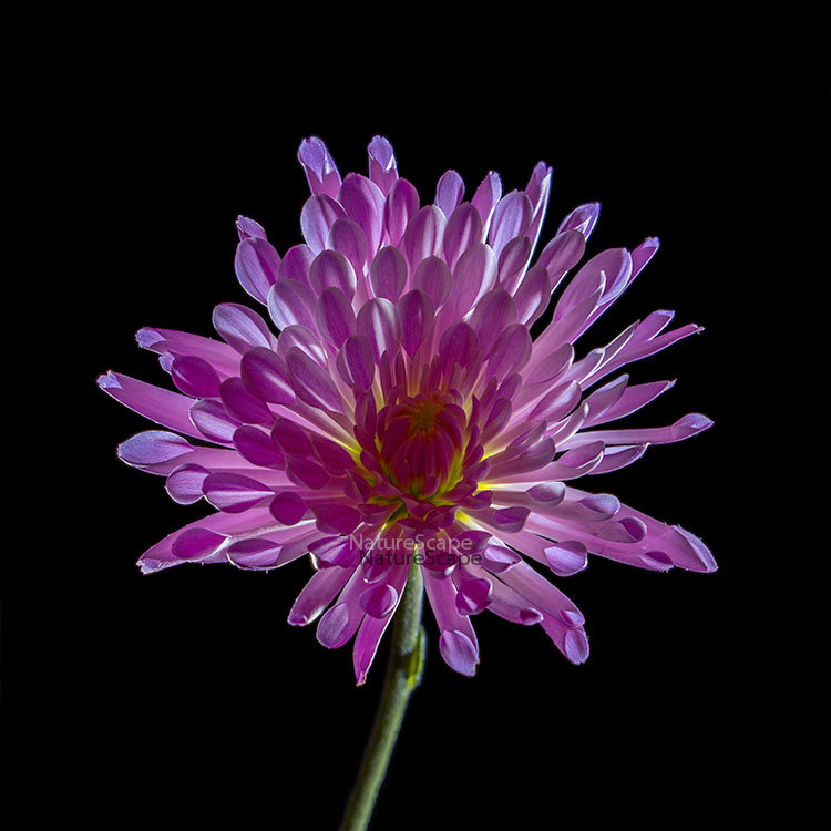 Purple Chrysanthemum by Philip Marsh