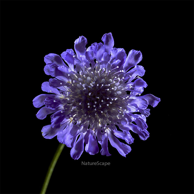 Blue Verbena by Philip Marsh
