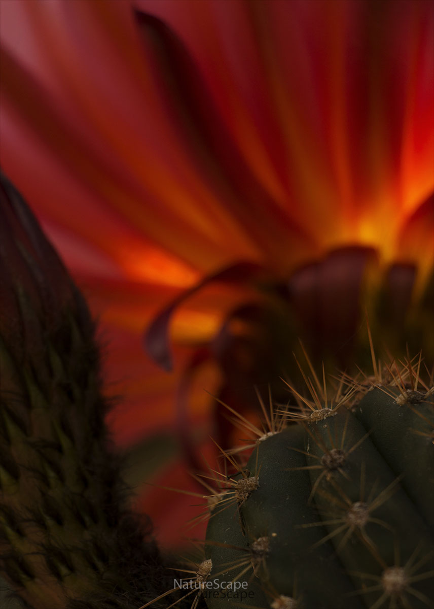 Orange Trichocereus by Philip Marsh