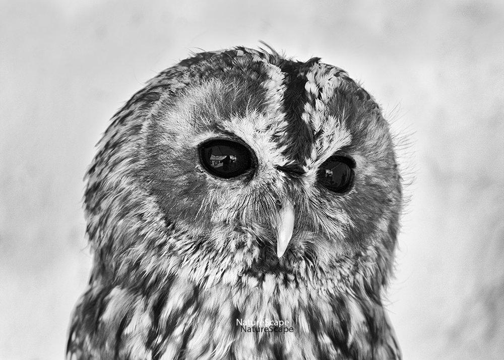 f_tawny owl 4622_5x150.jpg