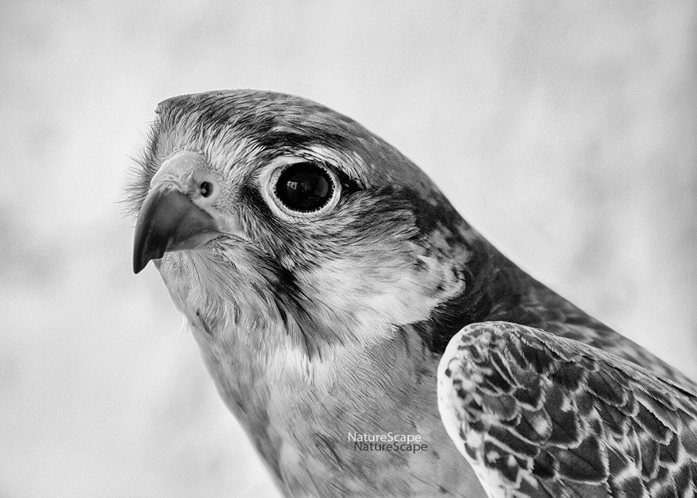 f_lanner falcon 4507 _5x150.jpg