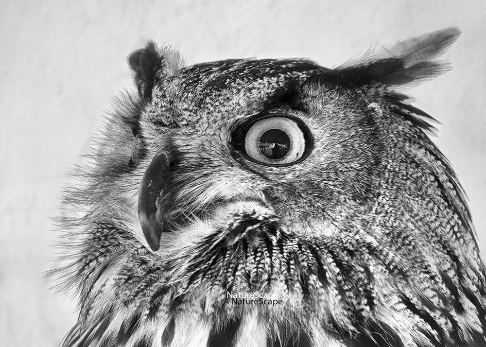f_eagle_owl_4344_5x150.jpg