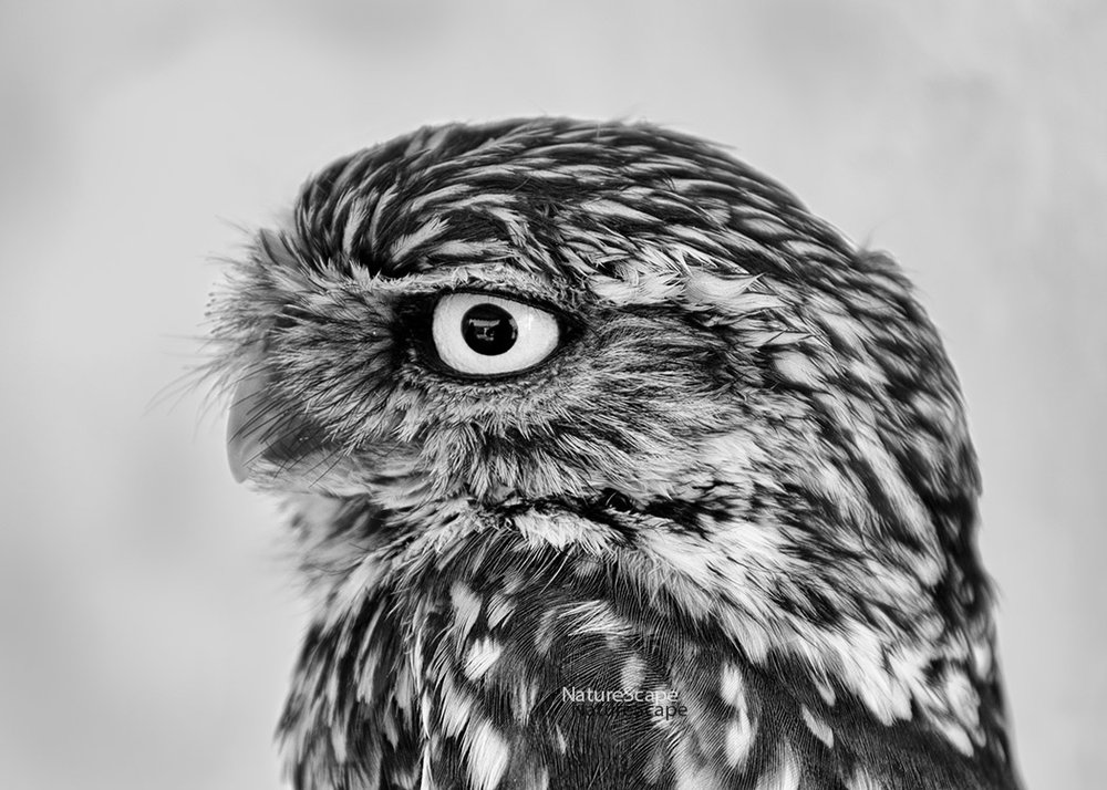 f_little owl profile 4668_5x150.jpg