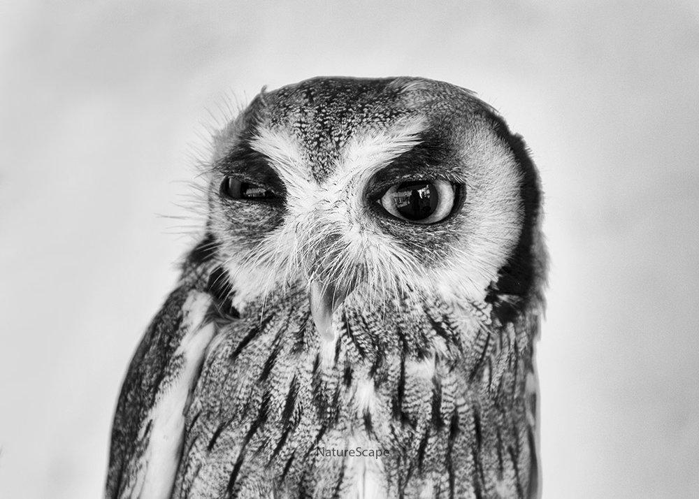 hawk owl 4700_5x150f.jpg