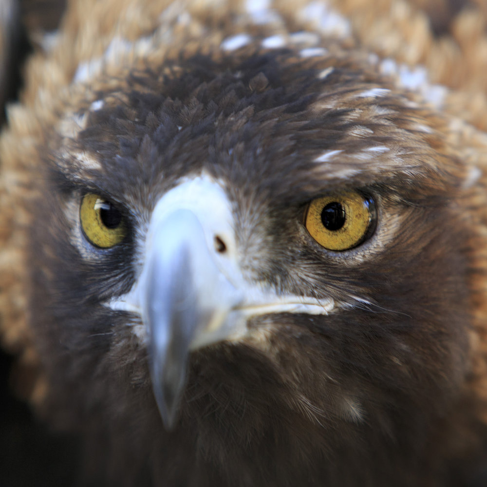 6Q7A8570_Eagle.jpg