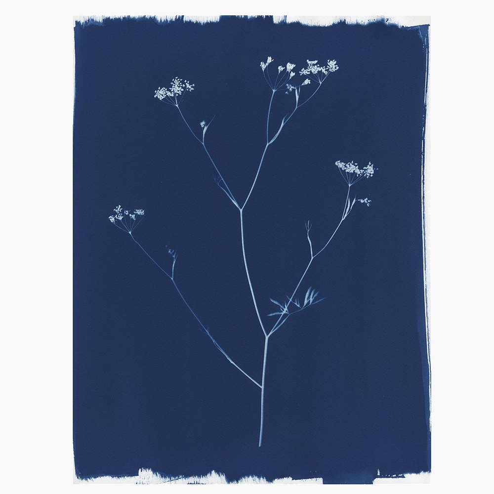 Ammi Majus Cyanotype by Kasia Wozniak for JamJar Edit
