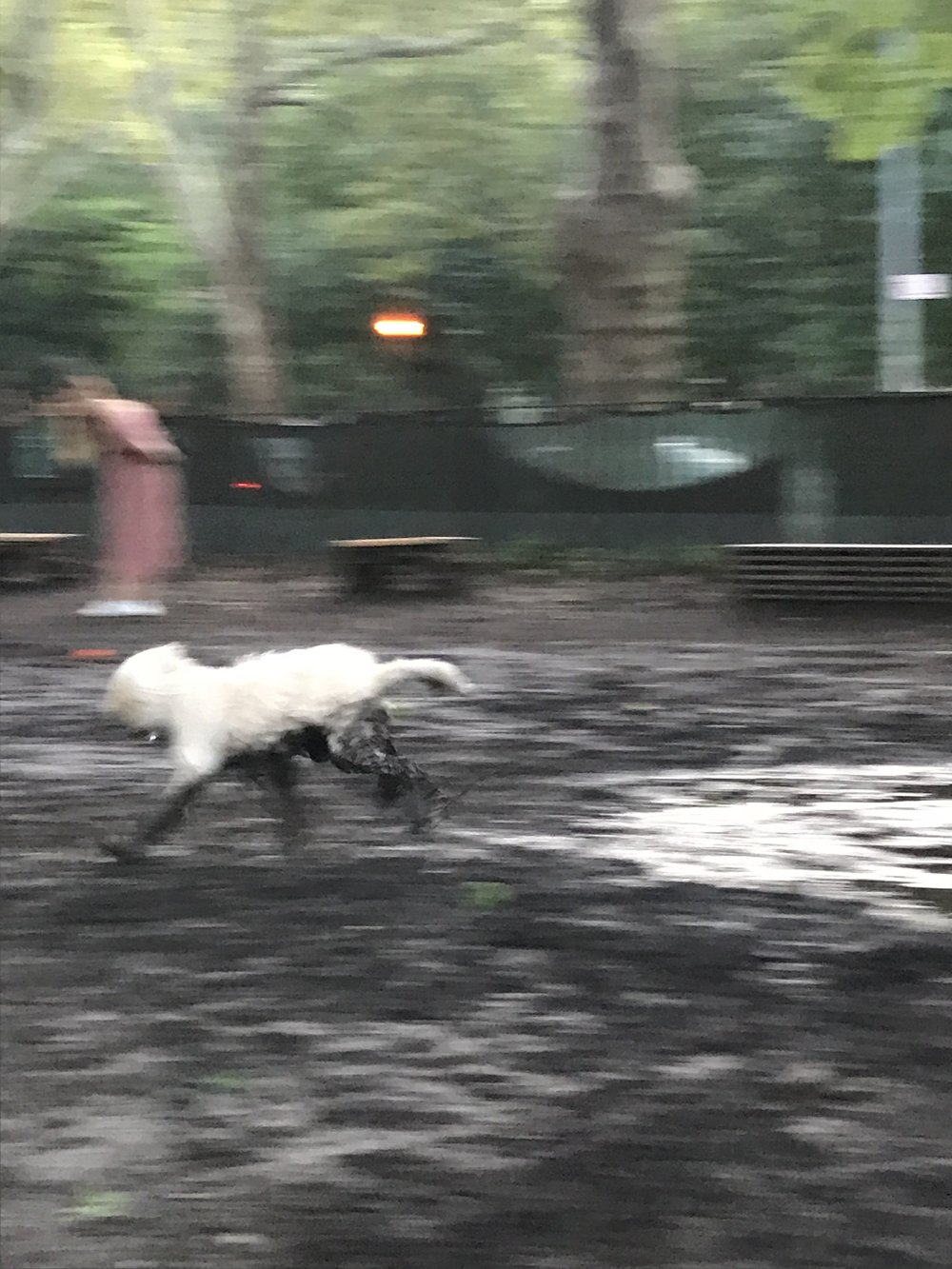 A majestic dog I witnessed at the dog park in McCarren Park!!! He rolled around in the mud and seemed so happy :') Even though he was dirty and messy the owner didn't care and I remember clearly thinking that this dog represented me very well haha -