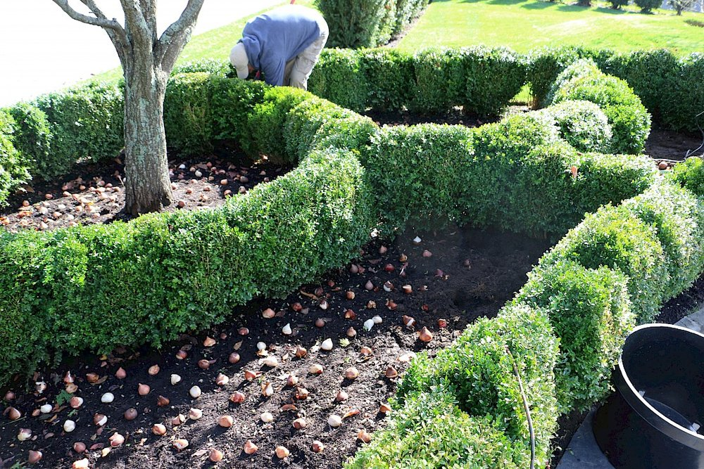 Tulips, Boxwoods and Plum Tree