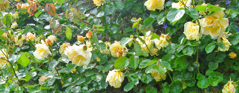 Roses Banner.jpg