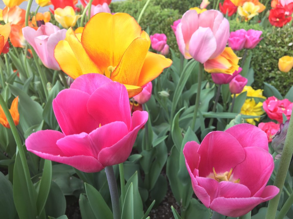 tulips5.jpg