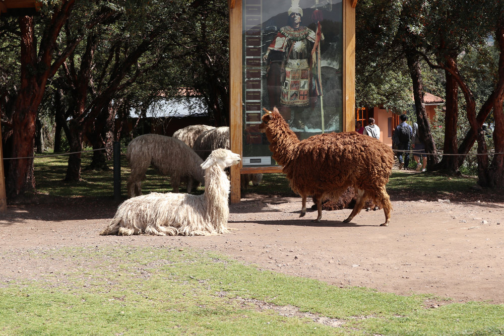 Llamas learning about the Incas