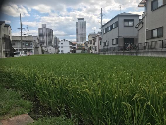 rice paddy.jpg