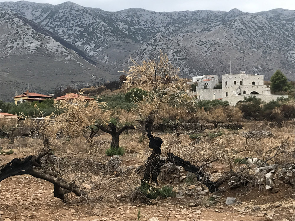 Kotronas after the fire, and below, burnt out olive groves