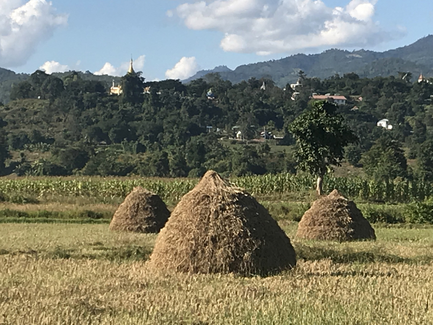 The scenery around Hsipaw, where the rice harvest is in full swing. Once the rice is harvested, the villagers (mostly women) gather up the stalks into bundles and then make them into stacks (men's work, making haystacks). The stacks store and protect the harvested rice until the winnowing machine comes around (see images below).