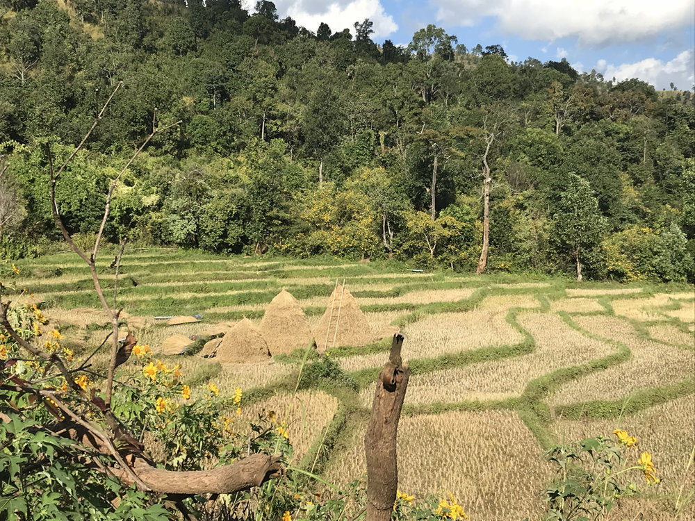 The homeward stretch - nearly back in Hsipaw. I can't resist pictures of rice fields and haystacks...