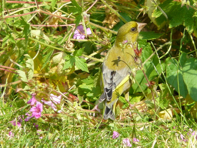 Chichester Greenfinch (photo by