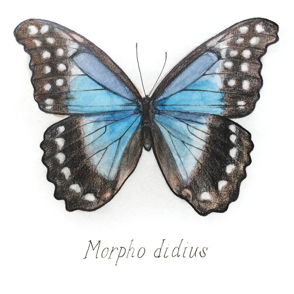 Blue-Morpho-web.jpg