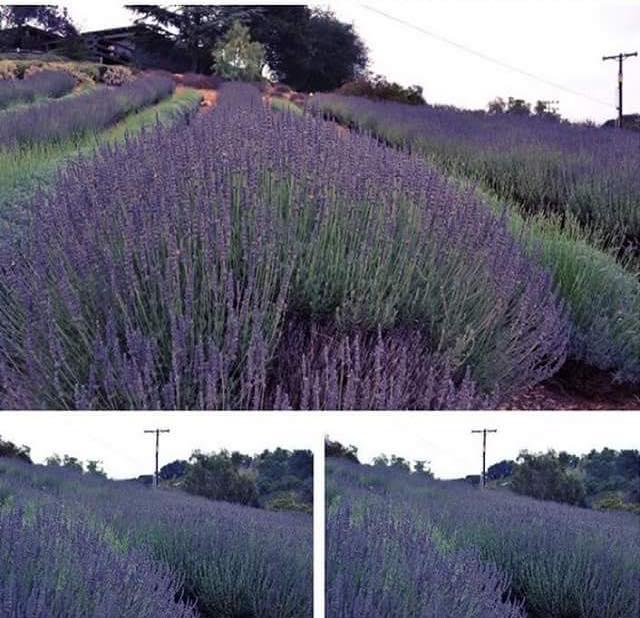 lavender pamphlet1.jpg