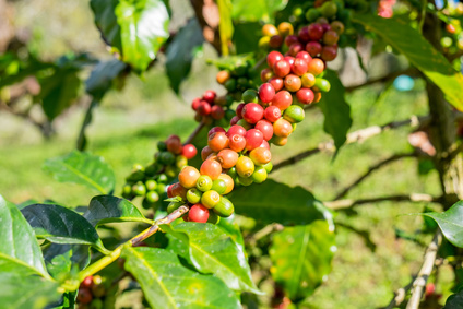 Ripening arabica coffee beans