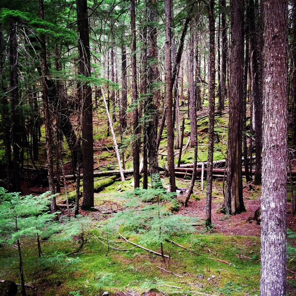 Lush forest of the Alice Lake area.