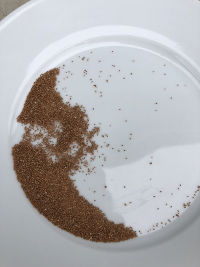 Teff as a grain, note the tiny individual grains