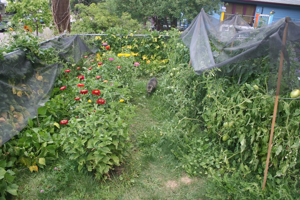 Beans, zinnas, tomatoes and cats.  Fiberglass screen is a saving grace against hail in Colorado Springs.