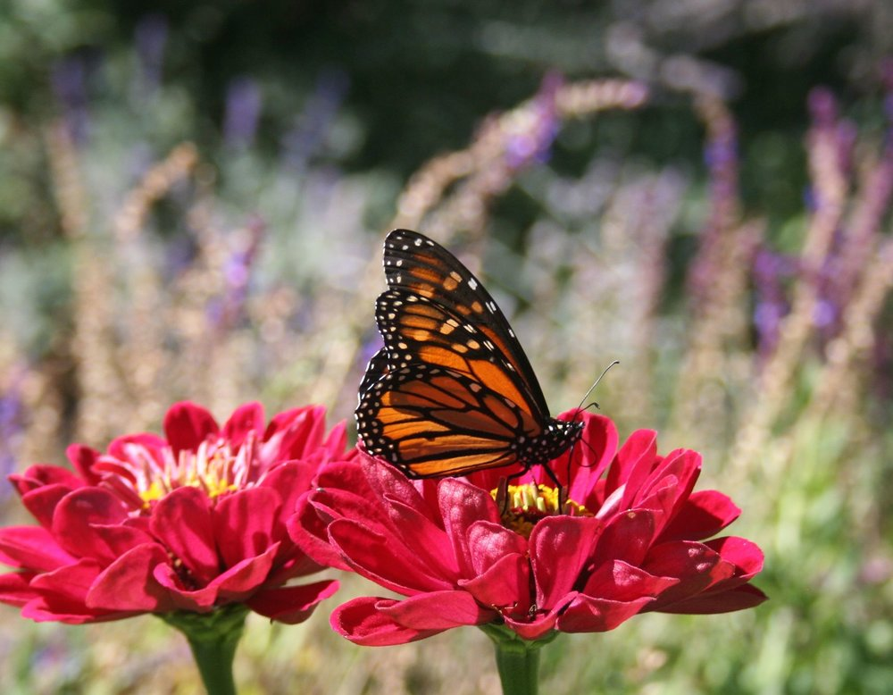 monarch6.jpg