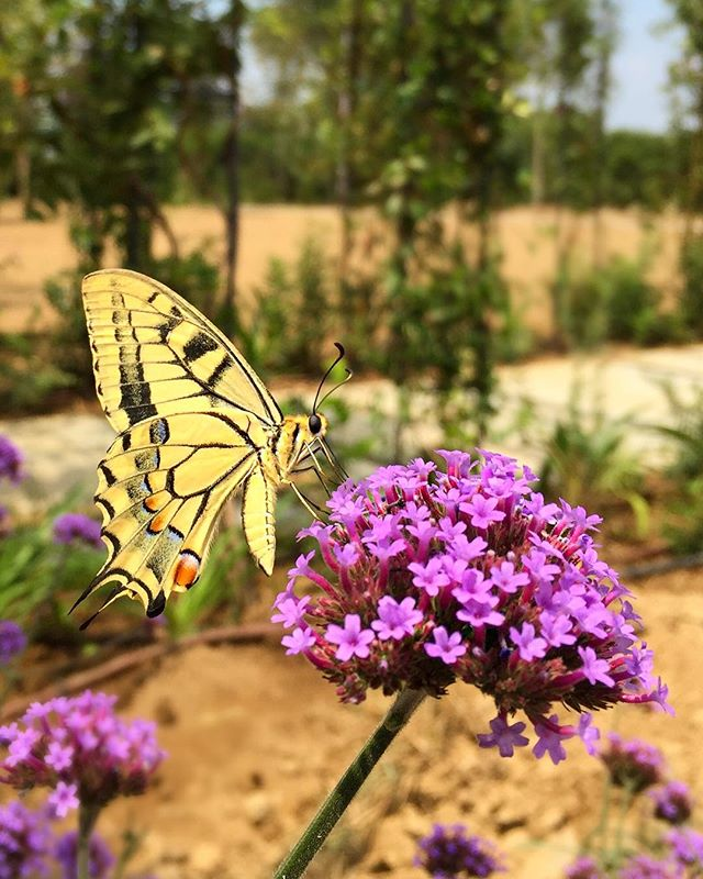 After an hour you've been wondering, finally you're taking pictures 🦋😅🌿 My lunch break today 💚#Butterfly  #Today #LunchBreak #TotallyInLove #animallover #NatureLover #PlantsLover #FlowersLover #Landscape #LandscapeDesign #Architecture #ArchiLover #DesignLover #Outdoor #Outdoorliving #DerekCastiglioniOfficial #OutdoorSpaceDesigner #Osd #TheUrbanGardener #MyLifeIsAJungle  #FollowMyGreenAdventures
