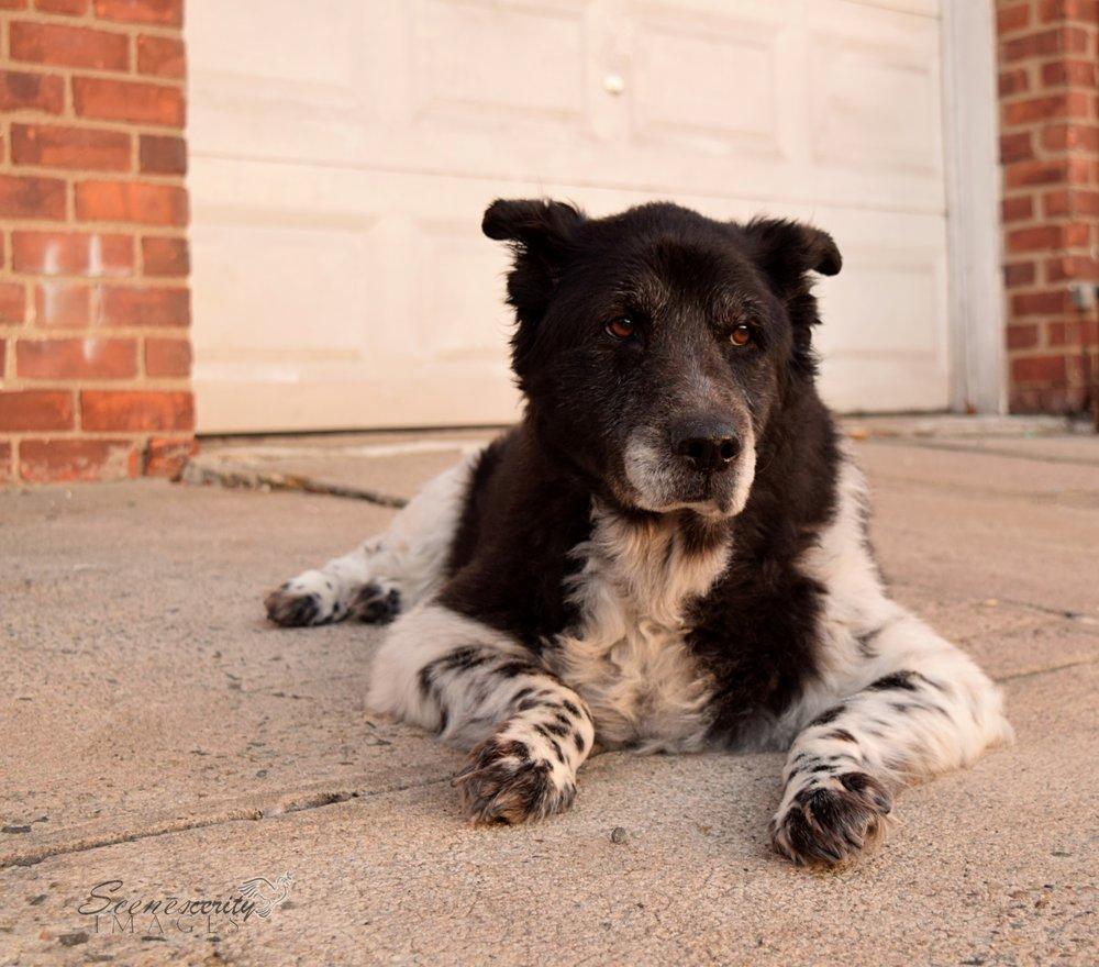 Dog Border Collie Pet Portrait Photography NYC Connecticut