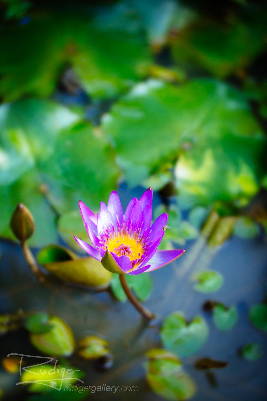 Maui Lily