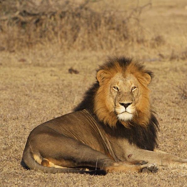 "Lion at Londolozi    The following is placeholder text known as ""lorem ipsum,"" which is scrambled Latin used by designers to mimic real copy. Donec eu est non lacus lacinia semper. Aliquam bibendum, turpis eu mattis iaculis,"