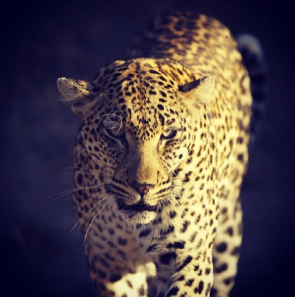 "Leopard at Tanda Tula     The following is placeholder text known as ""lorem ipsum,"" which is scrambled Latin used by designers to mimic real copy. In sit amet felis malesuada, feugiat purus eget, varius mi. Quisque congue porttitor ullamcorper."