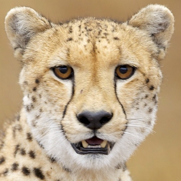 "Cheetah   The following is placeholder text known as ""lorem ipsum,"" which is scrambled Latin used by designers to mimic real copy. Donec ac fringilla turpis. Donec eget risus diam. Vestibulum ante ipsum primis in"