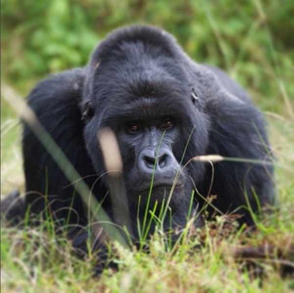 "Silverback Gorilla, Rwanda   The following is placeholder text known as ""lorem ipsum,"" which is scrambled Latin used by designers to mimic real copy. Quisque congue porttitor ullamcorper. Donec ac fringilla turpis. Lorem ipsum dolor sit amet, consectetur adipiscing elit."