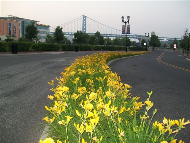 Waterfront Landscaping daffodils.JPG