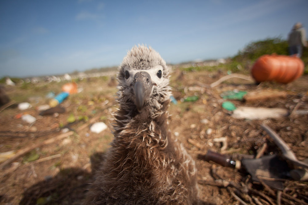 A Layman Albatross chick looks out from a plastic strewn landscape.                                                                (Image attribution: Kris Krüg)