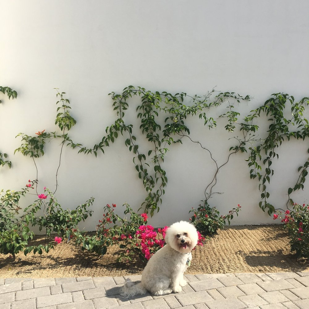 Watson by flowers at the Hotel San Cristobal in Todos Santos, BCS Mexico | Watson & Walls