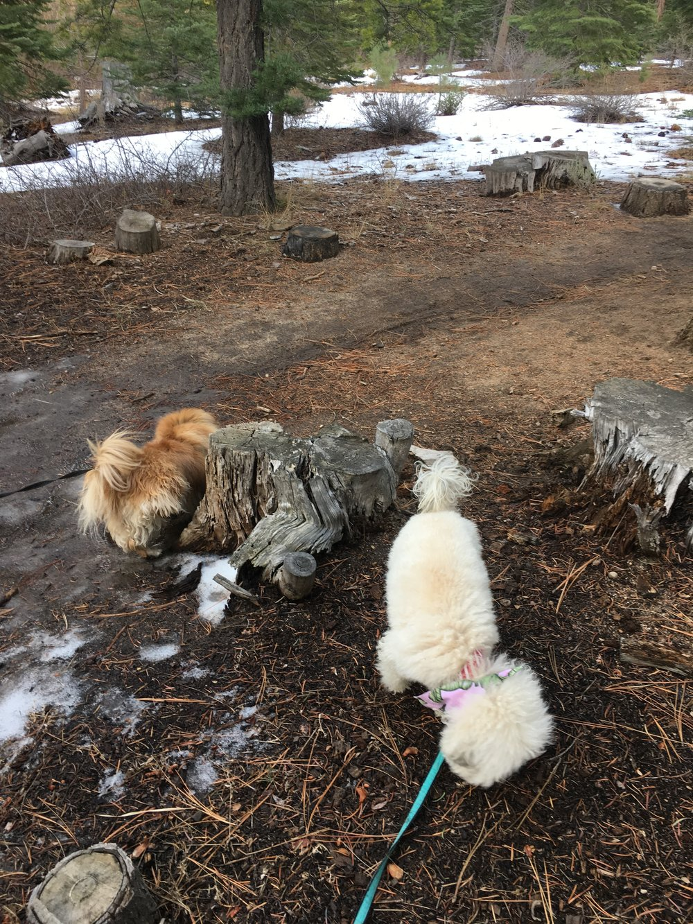 Watson hanging out with his pekingese friend Marley in South Lake Tahoe, CA | Watson & Walls