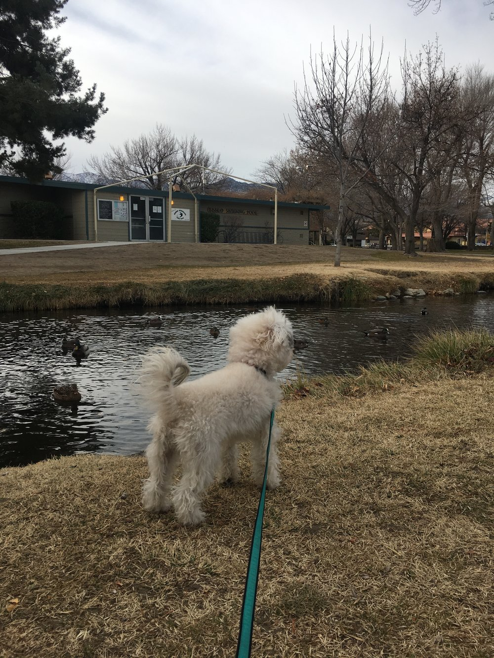 Watson enjoying the ducks in the outdoor park in Bishop, CA | Watson & Walls