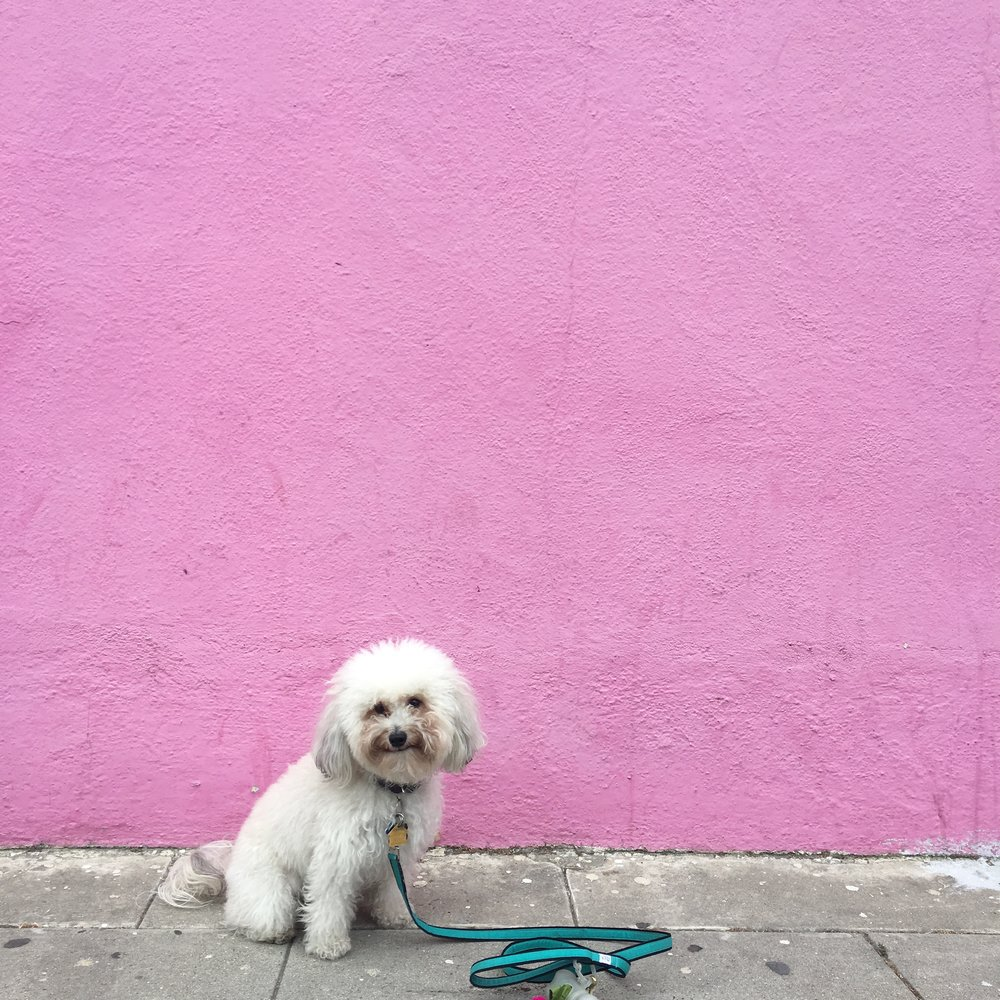 Watson by a Pink Wall in Mar Vista Los Angeles | Watson & Walls